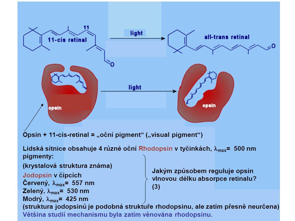 "Opsin + 11-cis-retinal = ""oční pigment (""visual pigment )"
