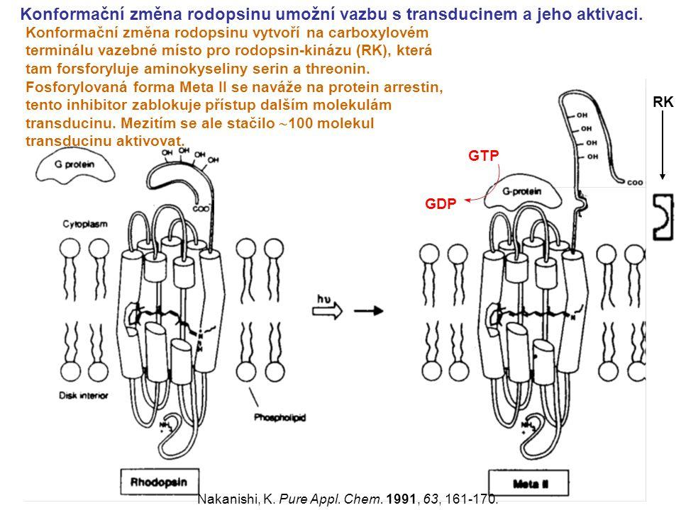 Konformační změna rodopsinu umožní vazbu s transducinem a jeho aktivaci.