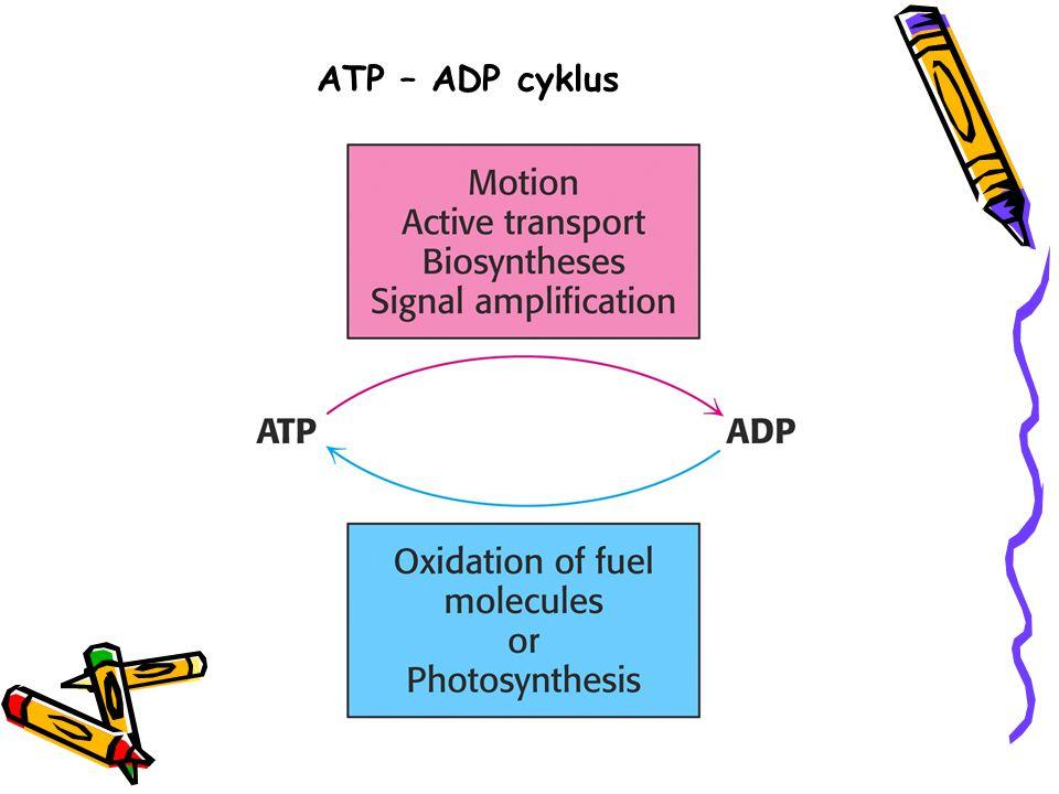 ATP – ADP cyklus