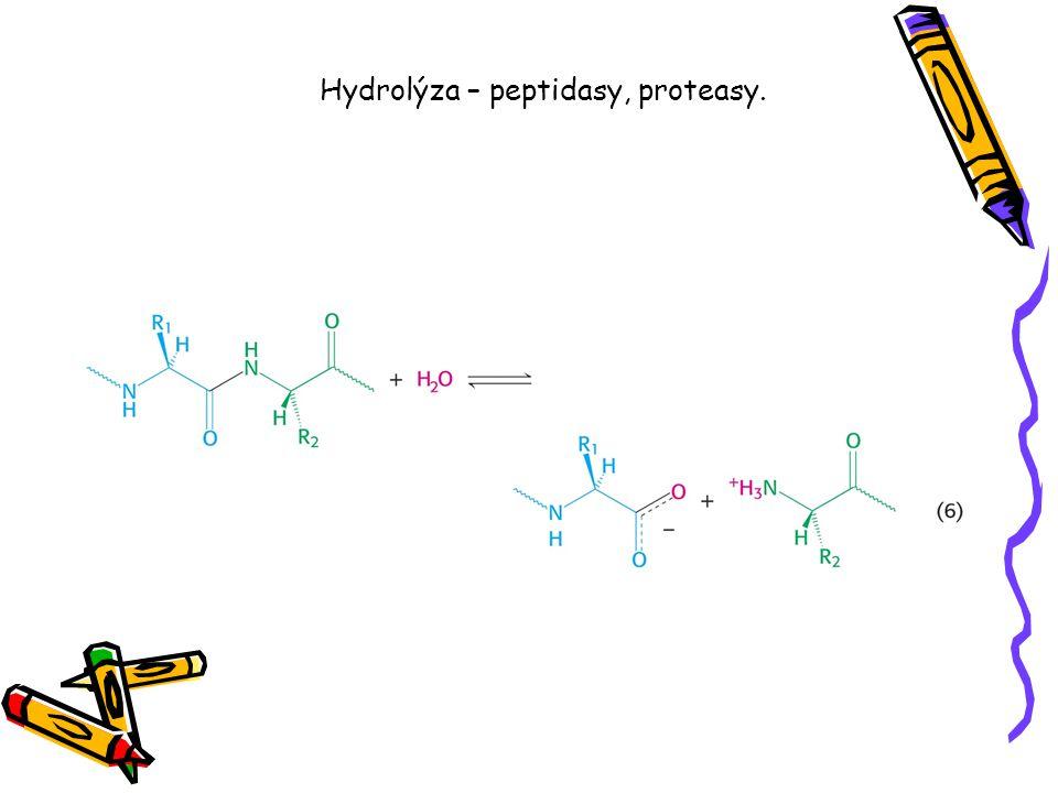Hydrolýza – peptidasy, proteasy.