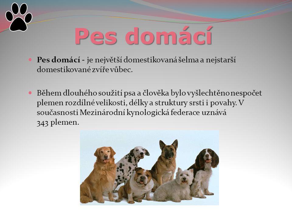 Pes domácí Pes domácí - je největší domestikovaná šelma a nejstarší domestikované zvíře vůbec.
