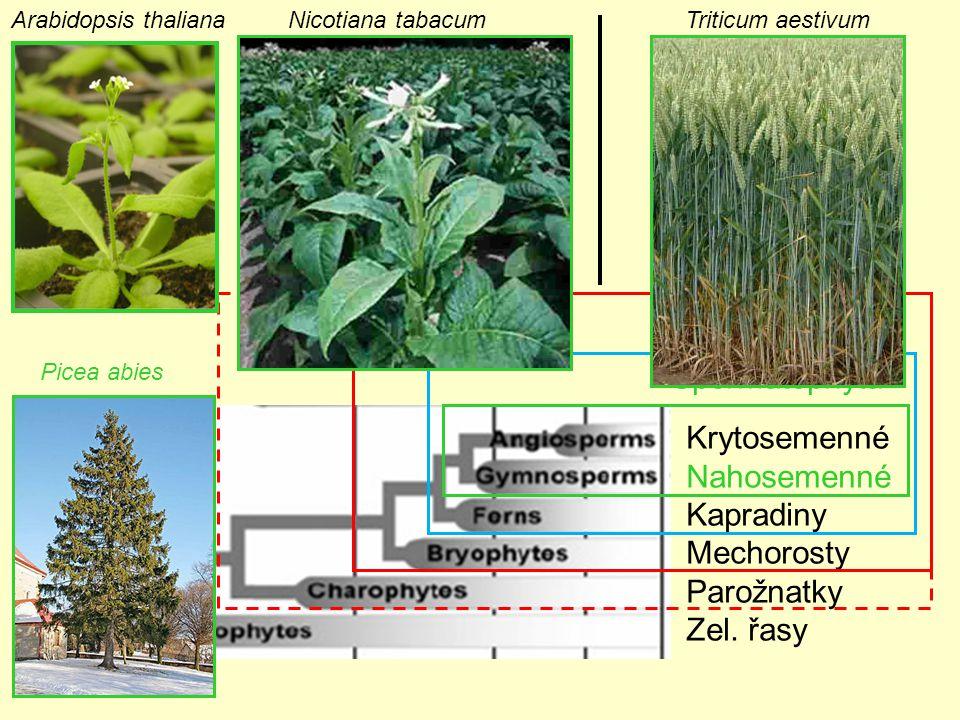 Embryophyta Tracheophyta Spermatophyta Krytosemenné Nahosemenné
