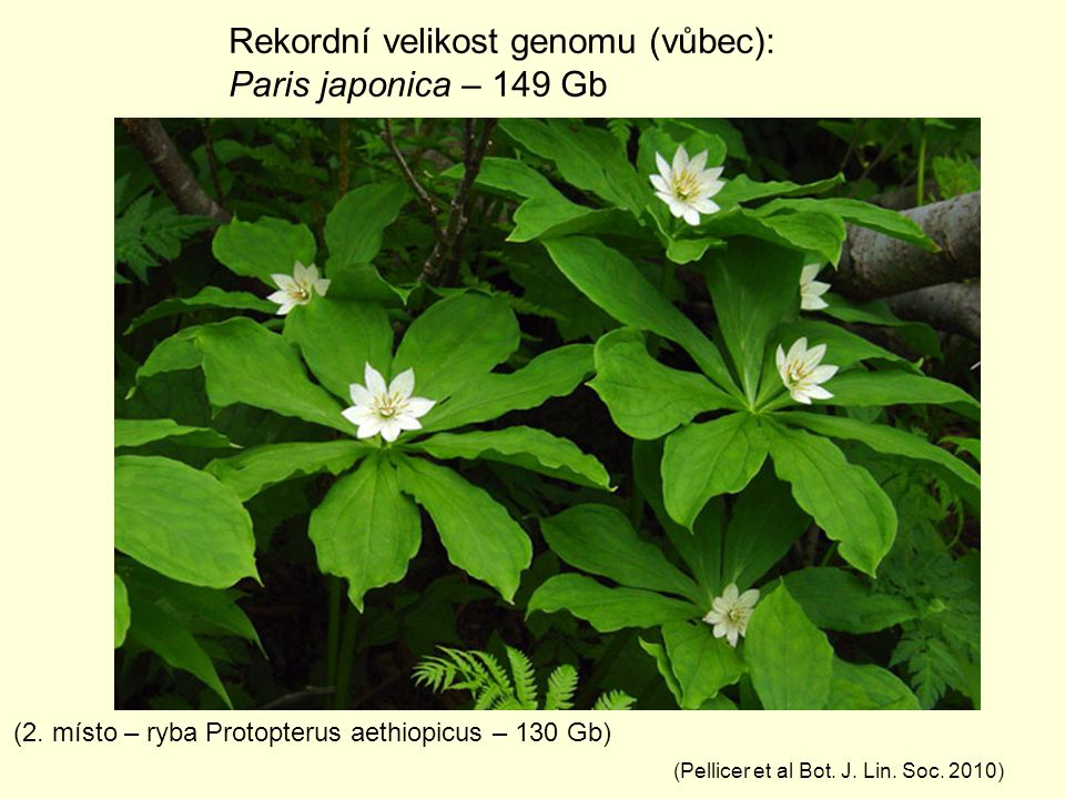 Rekordní velikost genomu (vůbec): Paris japonica – 149 Gb