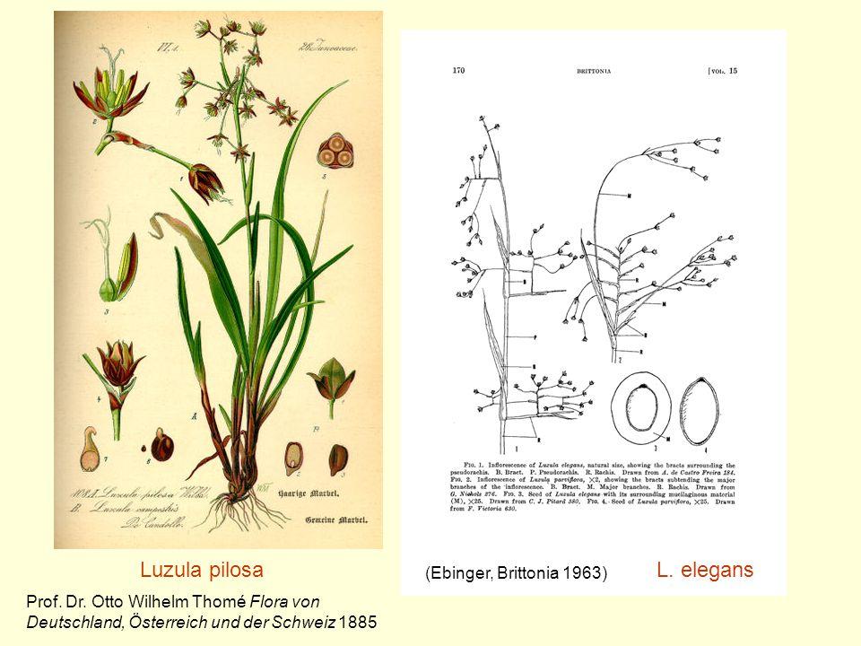 Luzula pilosa L. elegans