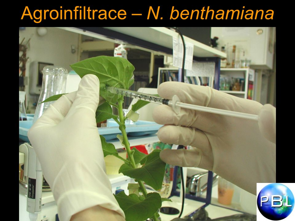 Agroinfiltrace – N. benthamiana