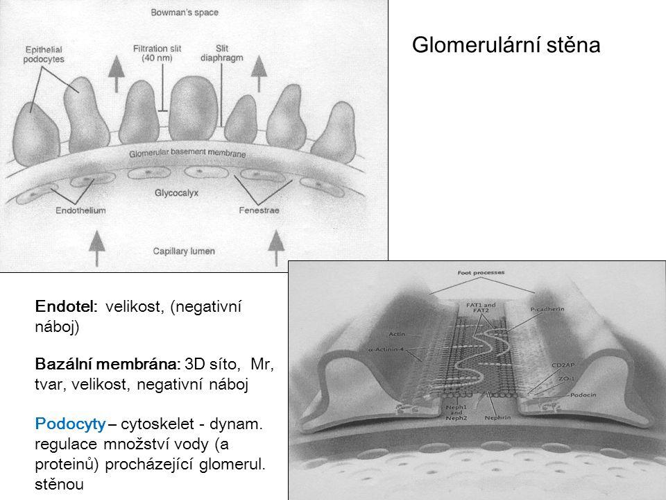 Glomerulární stěna Endotel: velikost, (negativní náboj)