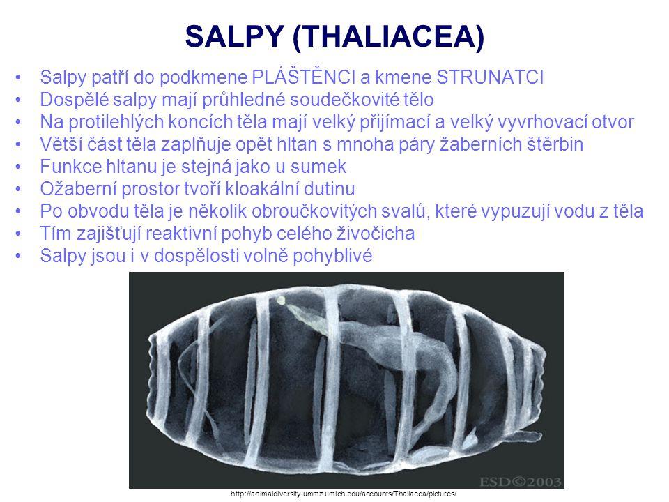 SALPY (THALIACEA) Salpy patří do podkmene PLÁŠTĚNCI a kmene STRUNATCI