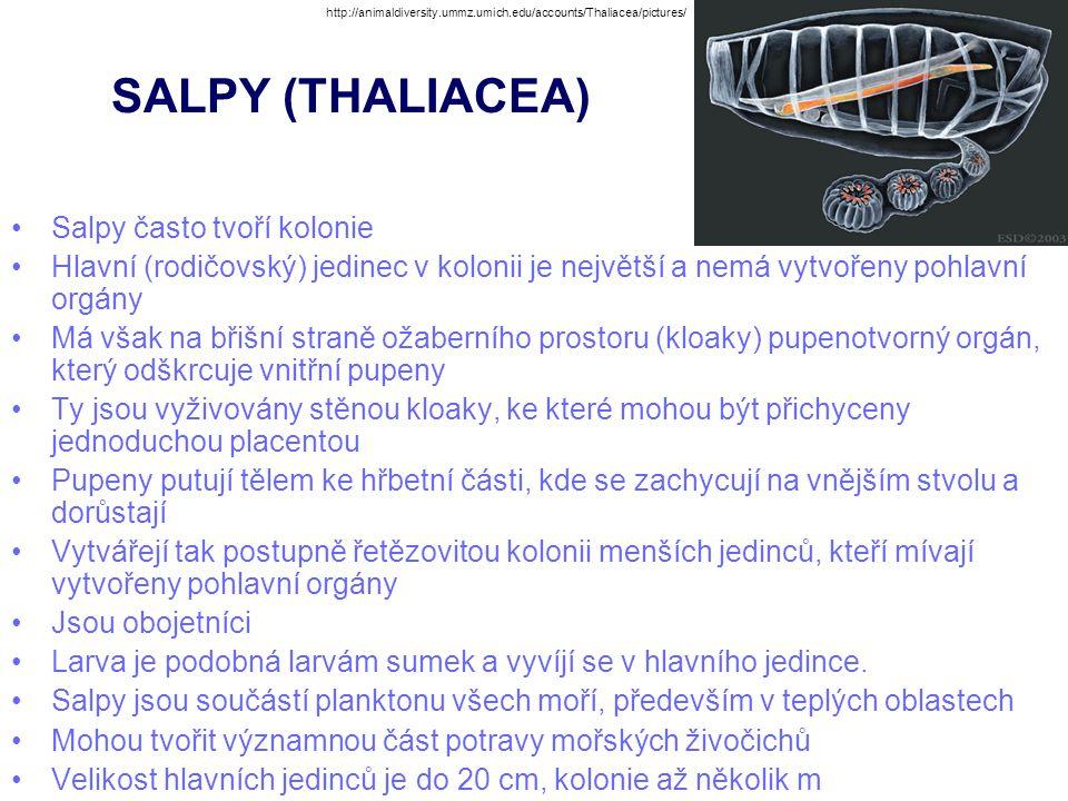 SALPY (THALIACEA) Salpy často tvoří kolonie