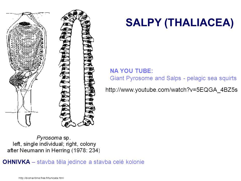 SALPY (THALIACEA) NA YOU TUBE: