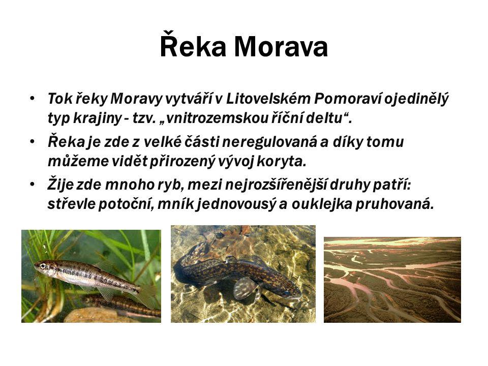 """Řeka Morava Tok řeky Moravy vytváří v Litovelském Pomoraví ojedinělý typ krajiny - tzv. """"vnitrozemskou říční deltu ."""