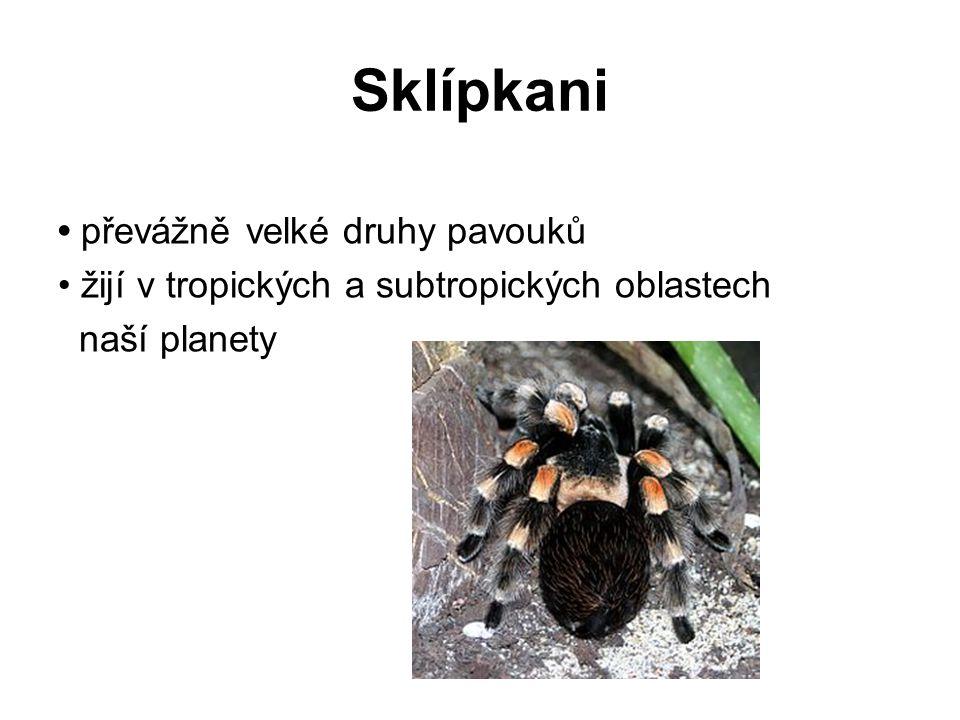 Sklípkani • převážně velké druhy pavouků