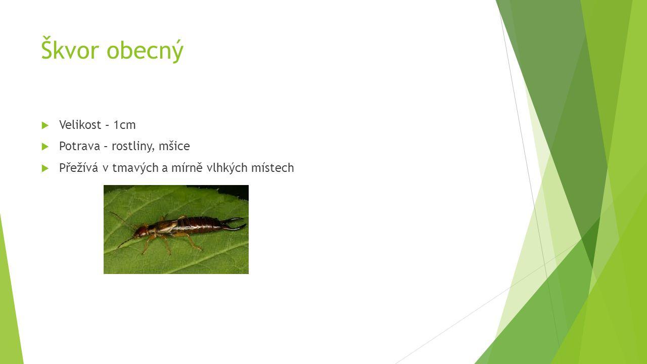 Škvor obecný Velikost – 1cm Potrava – rostliny, mšice