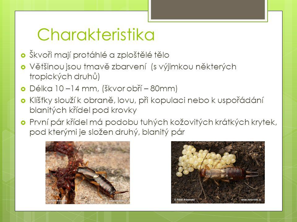 Charakteristika Škvoři mají protáhlé a zploštělé tělo