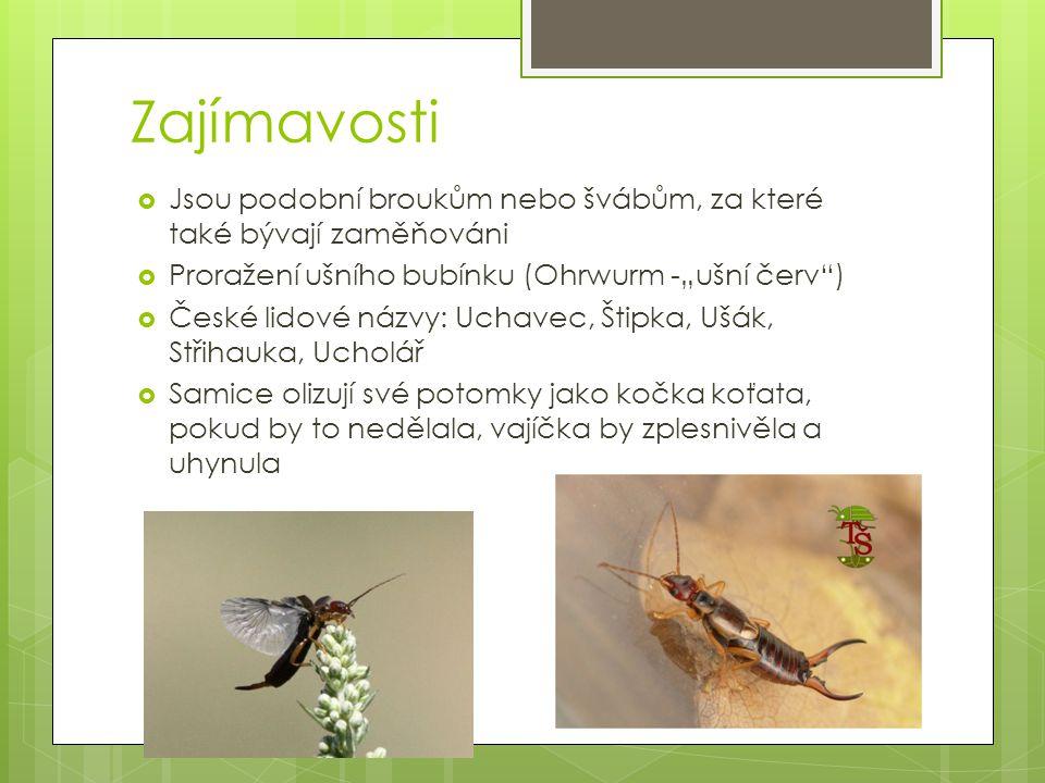 """Zajímavosti Jsou podobní broukům nebo švábům, za které také bývají zaměňováni. Proražení ušního bubínku (Ohrwurm -""""ušní červ )"""