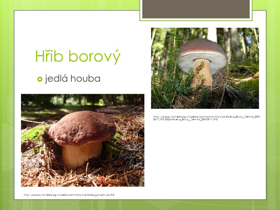 Hřib borový jedlá houba