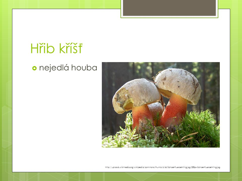 Hřib kříšť nejedlá houba