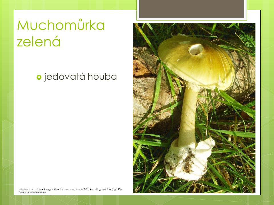 Muchomůrka zelená jedovatá houba