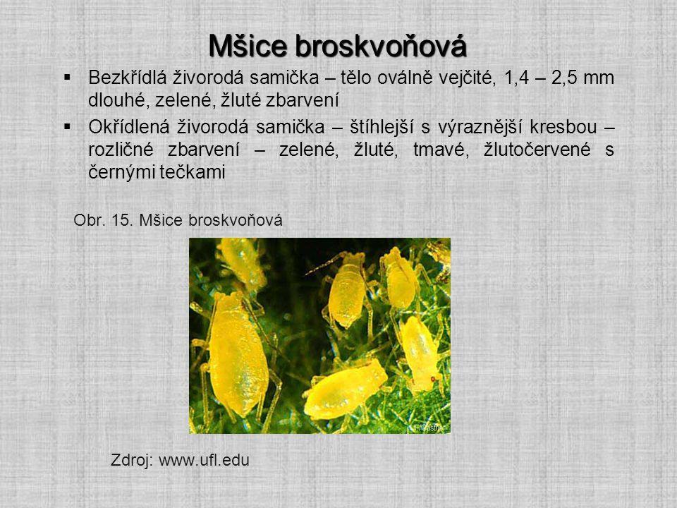 Mšice broskvoňová Bezkřídlá živorodá samička – tělo oválně vejčité, 1,4 – 2,5 mm dlouhé, zelené, žluté zbarvení.
