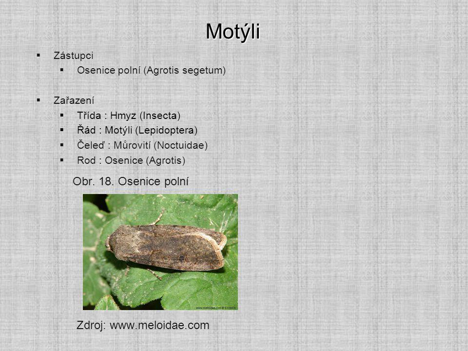 Motýli Obr. 18. Osenice polní Zdroj: www.meloidae.com Zástupci