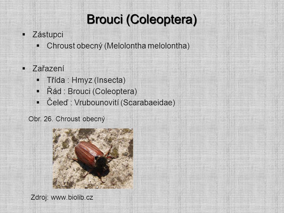 Brouci (Coleoptera) Zástupci Chroust obecný (Melolontha melolontha)
