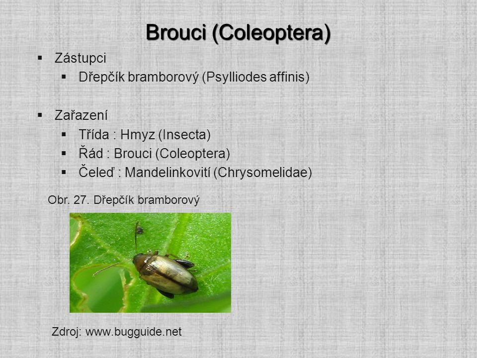 Brouci (Coleoptera) Zástupci Dřepčík bramborový (Psylliodes affinis)