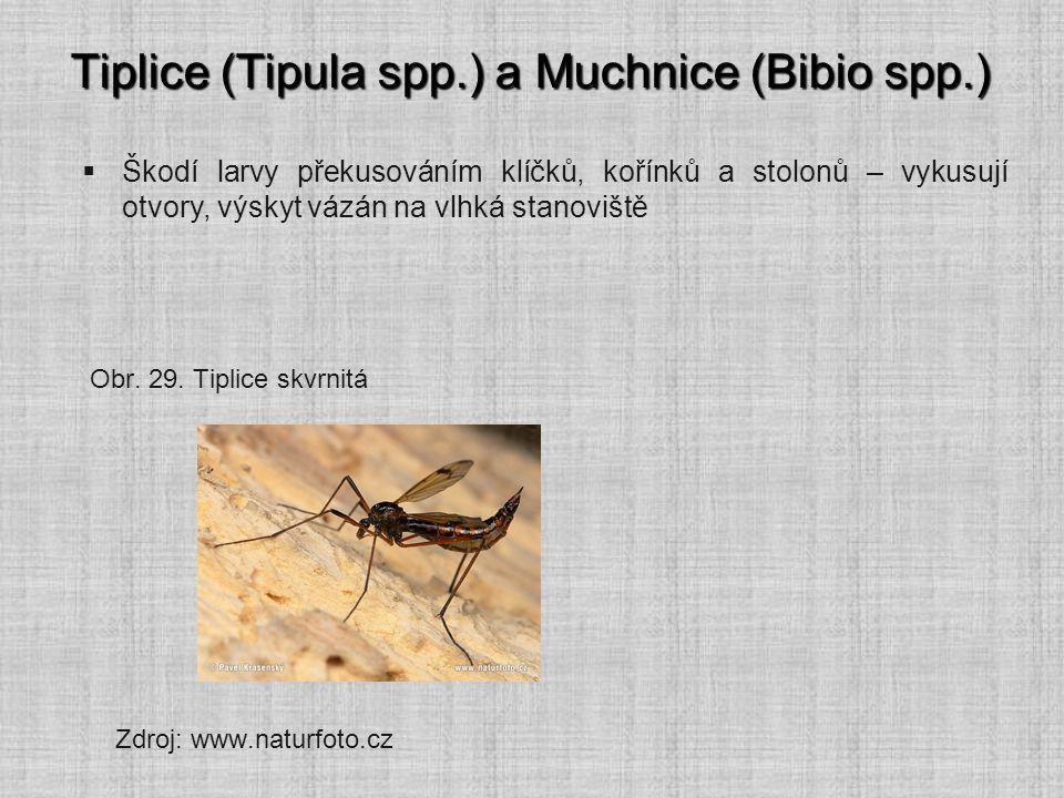 Tiplice (Tipula spp.) a Muchnice (Bibio spp.)