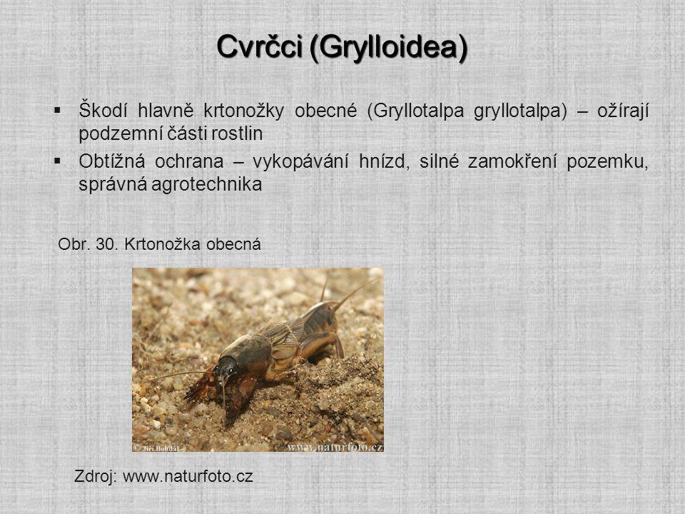Cvrčci (Grylloidea) Škodí hlavně krtonožky obecné (Gryllotalpa gryllotalpa) – ožírají podzemní části rostlin.