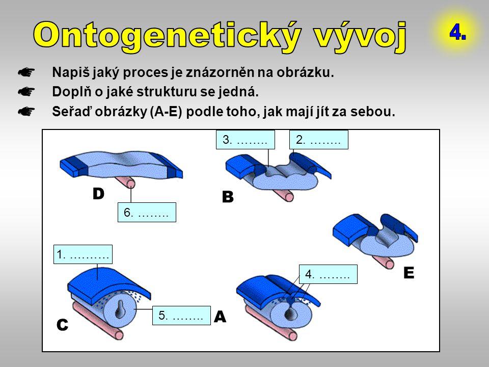 Ontogenetický vývoj 4. D B E A C