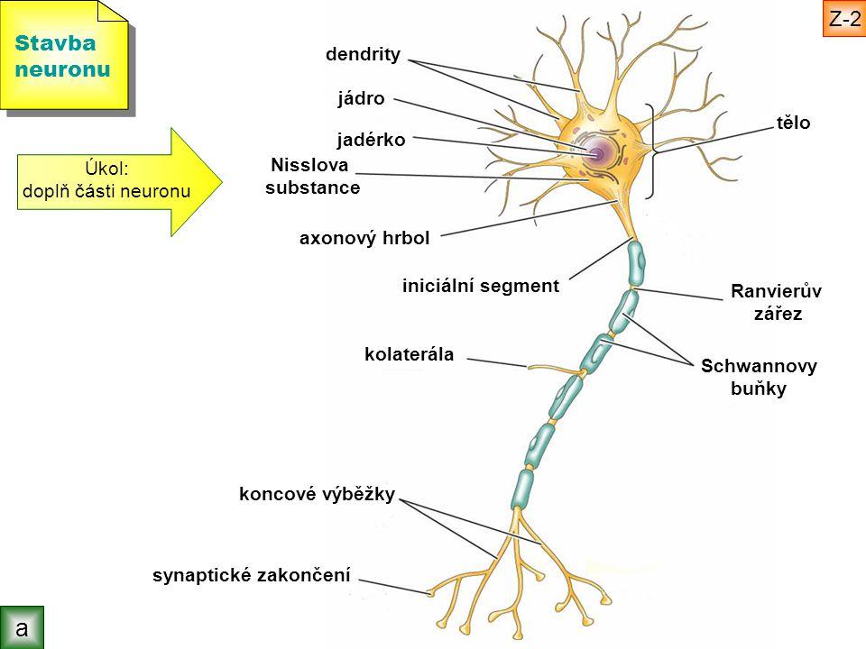 a Z-2 Stavba neuronu dendrity jádro tělo jadérko Úkol: