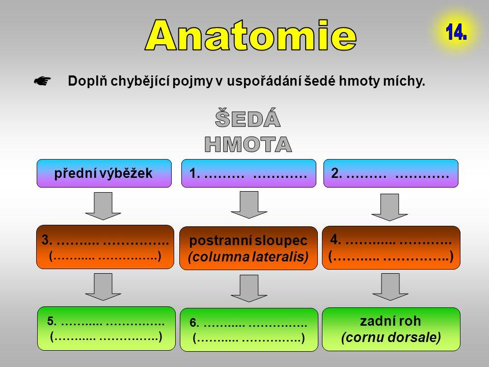 Anatomie 14. Doplň chybějící pojmy v uspořádání šedé hmoty míchy. ŠEDÁ. HMOTA. přední výběžek. 1. ……… …………