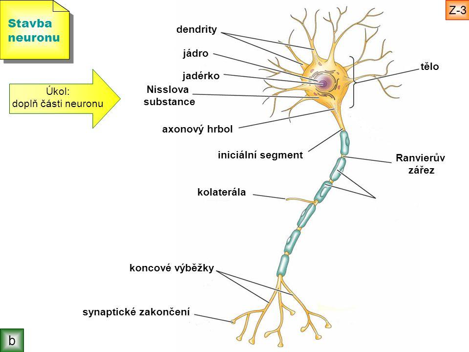 b Z-3 Stavba neuronu dendrity jádro tělo jadérko Úkol: