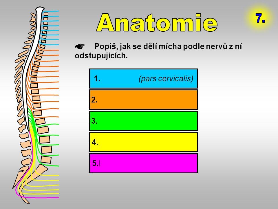 Anatomie 7. Popiš, jak se dělí mícha podle nervů z ní odstupujících.