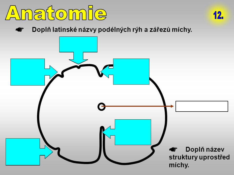 Anatomie 12. Doplň latinské názvy podélných rýh a zářezů míchy.