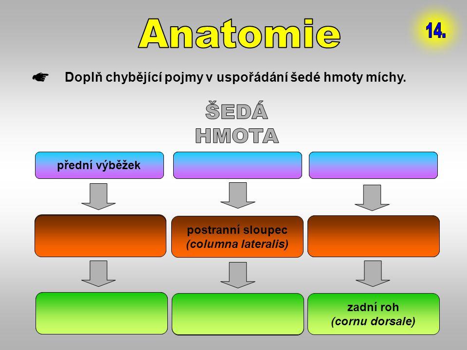 Anatomie 14. Doplň chybějící pojmy v uspořádání šedé hmoty míchy. ŠEDÁ. HMOTA. přední výběžek. 1. postranní výb.