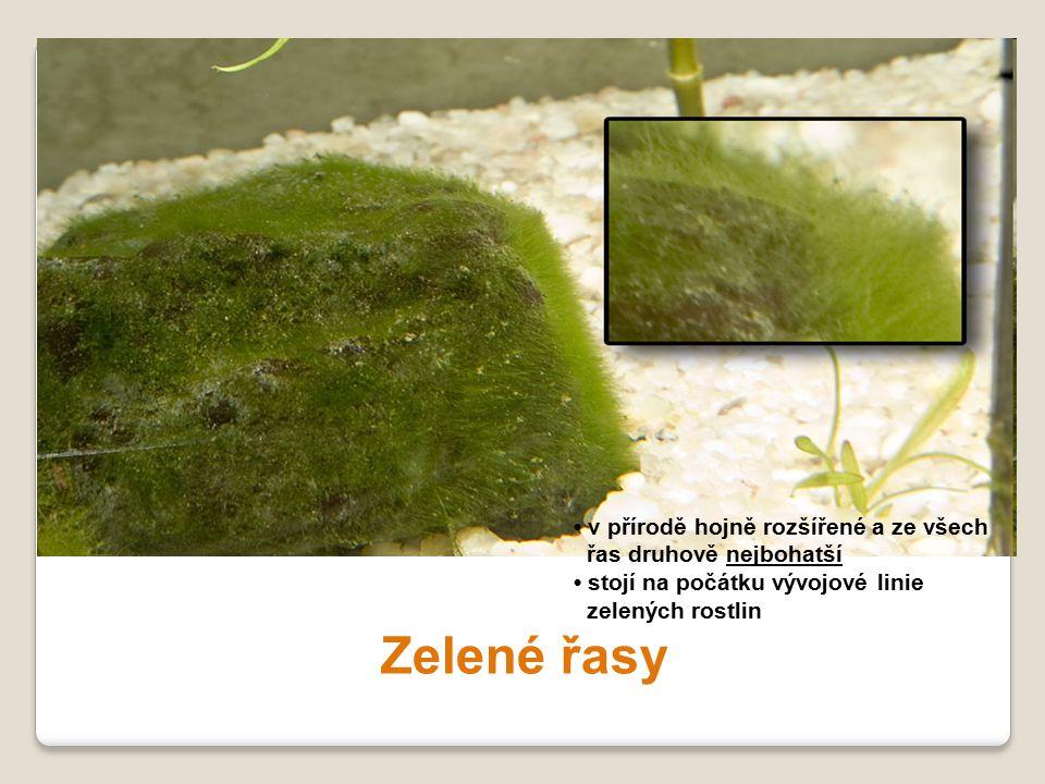 Zelené řasy • v přírodě hojně rozšířené a ze všech