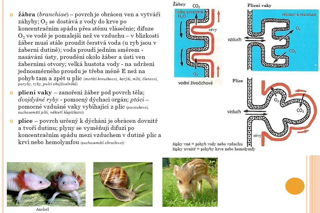 žábra (branchiae) – povrch je obrácen ven a vytváří záhyby; O2 se dostává z vody do krve po koncentračním spádu přes stěnu vlásečnic; difuze O2 ve vodě je pomalejší než ve vzduchu – v blízkosti žáber musí stále proudit čerstvá voda (u ryb jsou v žaberní dutině); voda proudí jedním směrem - nasávání ústy, proudění okolo žáber a ústí ven žaberními otvory; velká hustota vody - na udržení jednosměrného proudu je třeba méně E než na pohyb tam a zpět u plic (mořští kroužkovci, korýši, mlži, členovci, paryby, ryby, pulci obojživelníků)