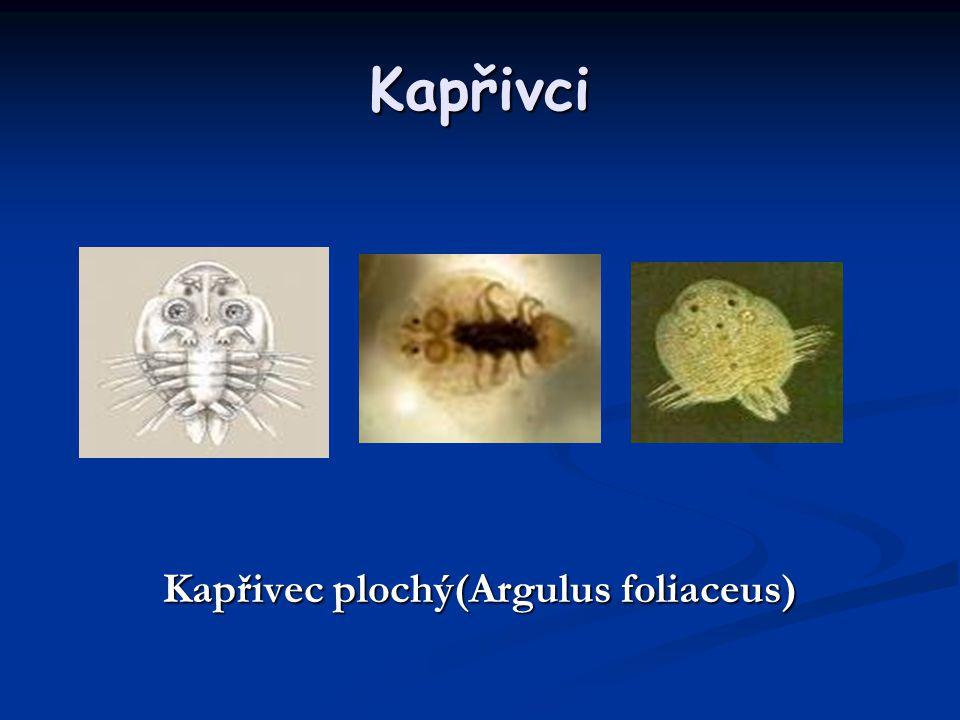 Kapřivec plochý(Argulus foliaceus)