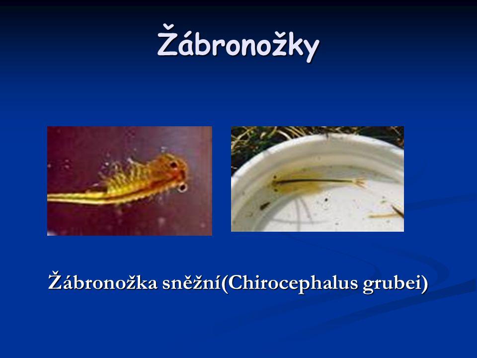 Žábronožka sněžní(Chirocephalus grubei)