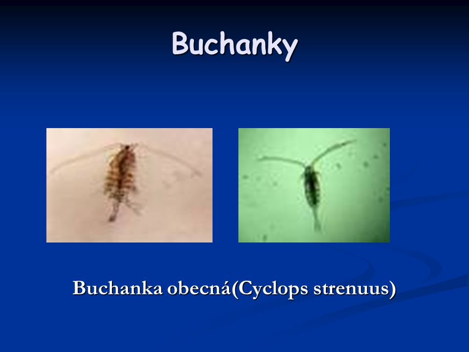 Buchanka obecná(Cyclops strenuus)