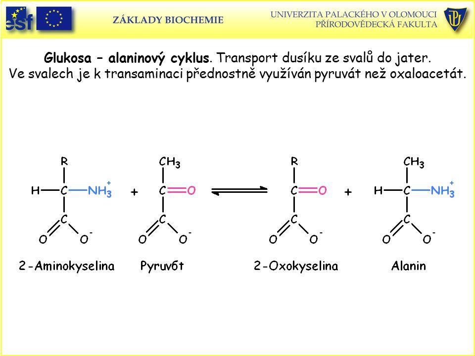 Glukosa – alaninový cyklus. Transport dusíku ze svalů do jater