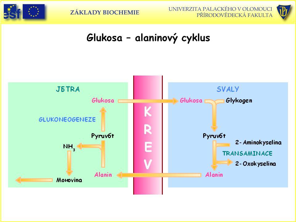 Glukosa – alaninový cyklus
