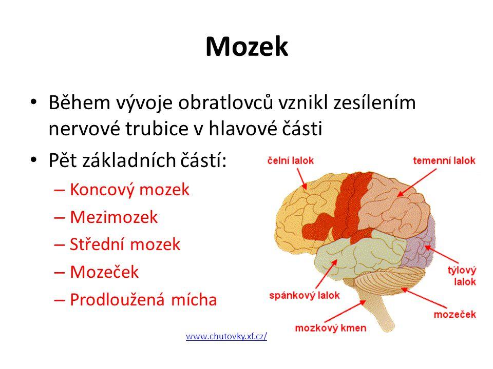 Mozek Během vývoje obratlovců vznikl zesílením nervové trubice v hlavové části. Pět základních částí: