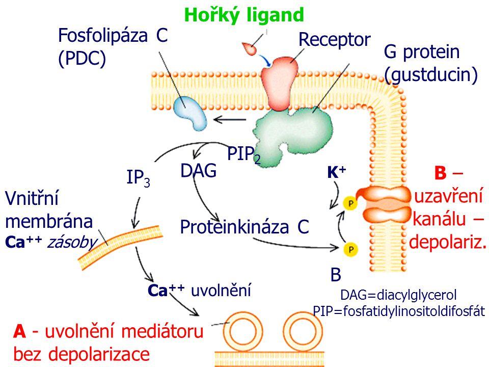 uzavření kanálu – depolariz. IP3 Vnitřní membrána Ca++ zásoby