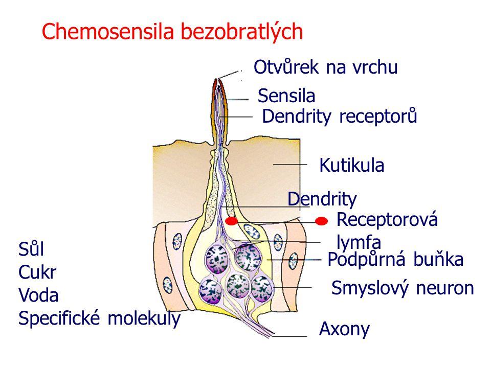 Chemosensila bezobratlých