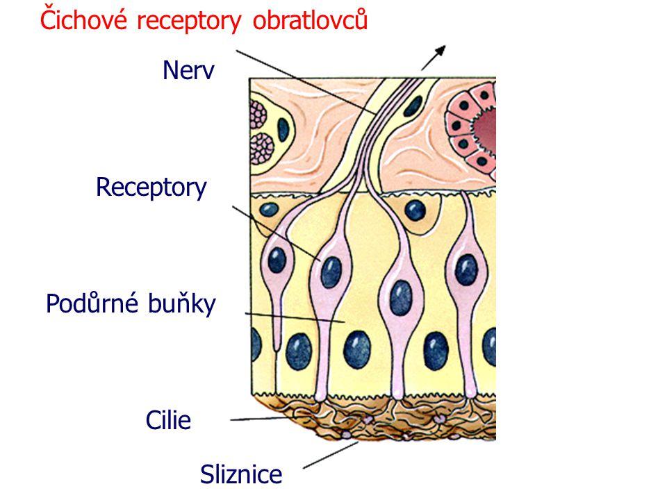 Čichové receptory obratlovců