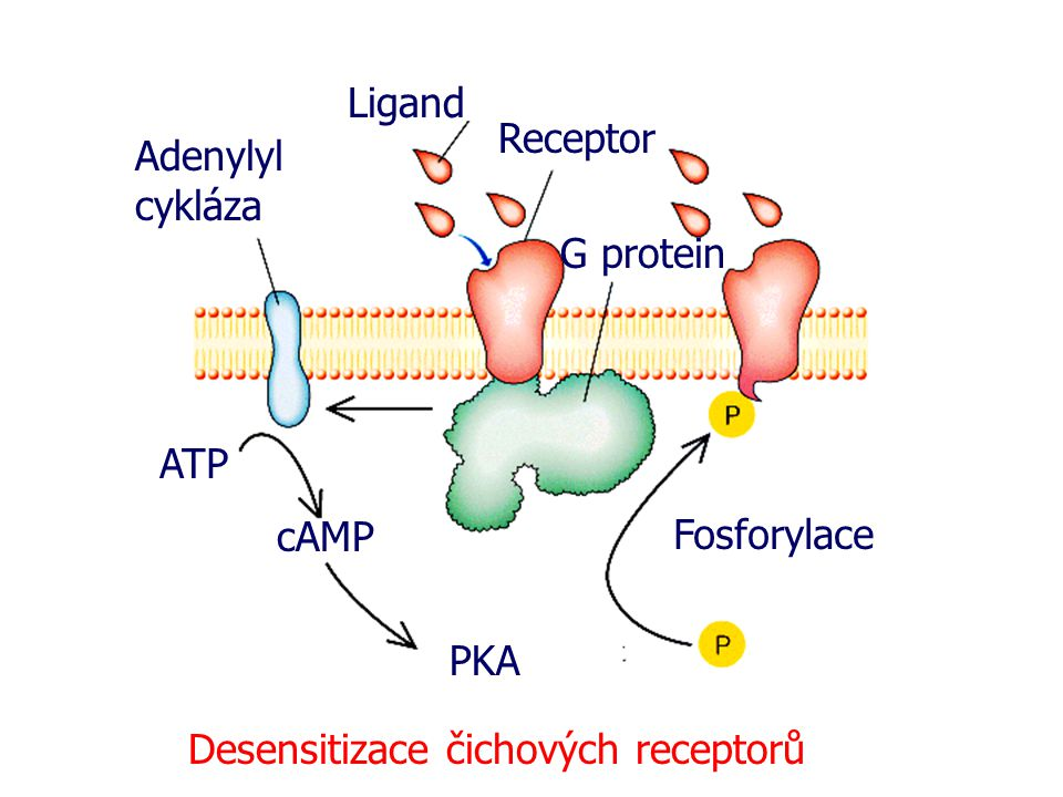 Ligand Receptor. Adenylyl cykláza. G protein. ATP.