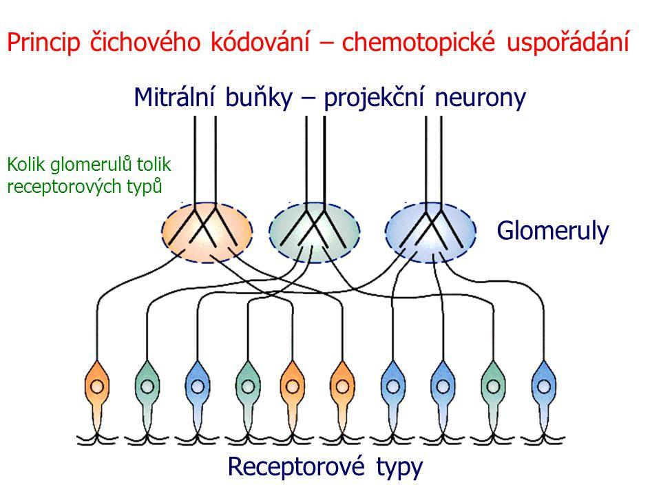 Princip čichového kódování – chemotopické uspořádání