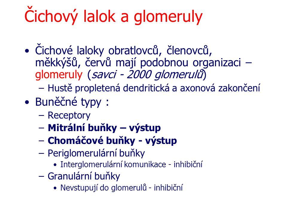 Čichový lalok a glomeruly