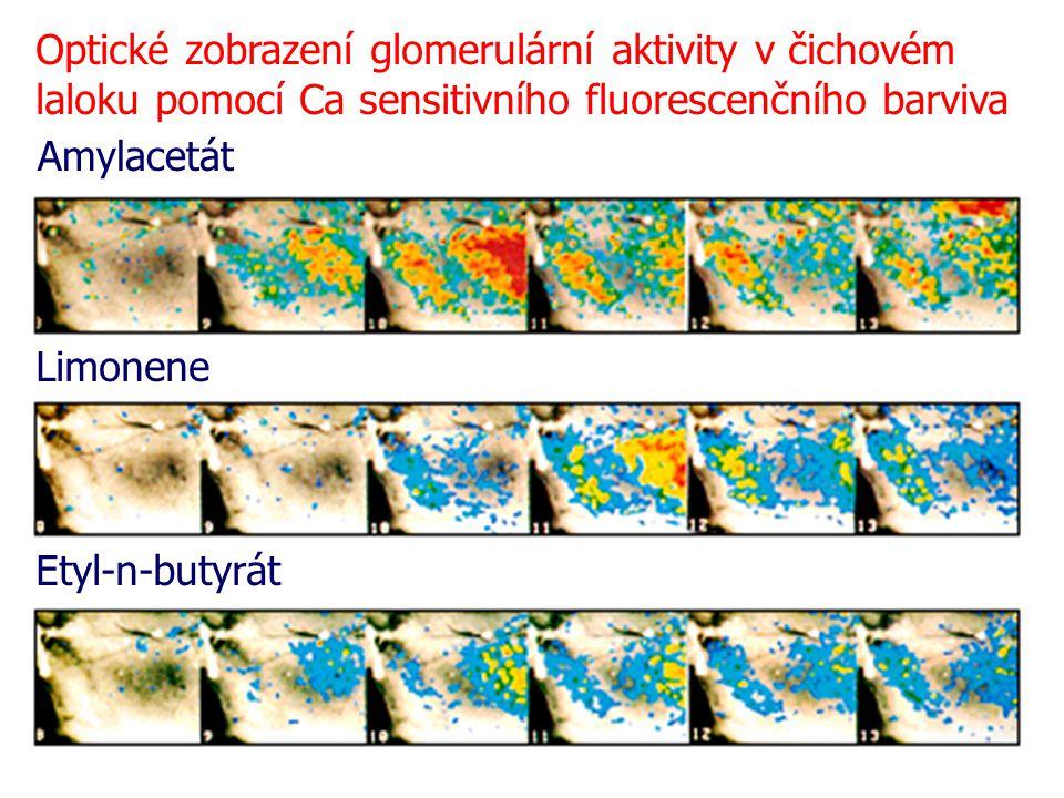Optické zobrazení glomerulární aktivity v čichovém laloku pomocí Ca sensitivního fluorescenčního barviva