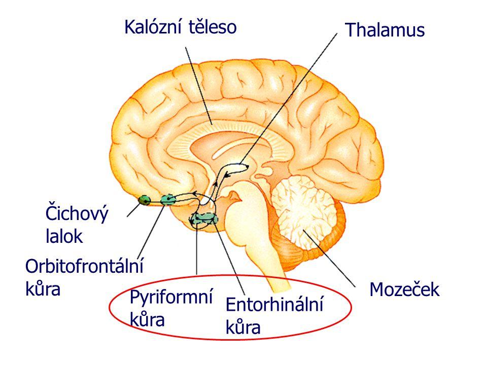 Kalózní těleso Thalamus. Čichový lalok. Orbitofrontální kůra.